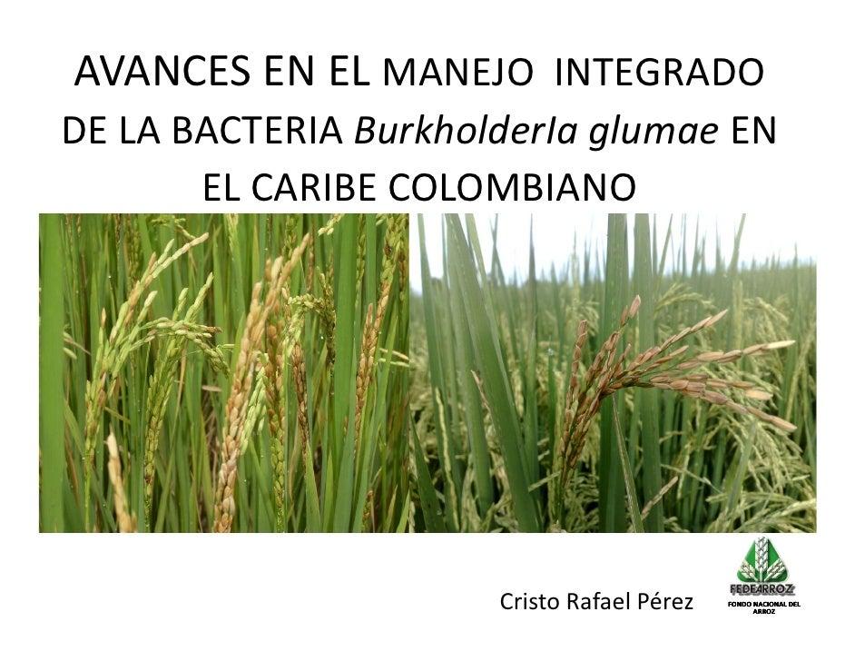 004   avances en el manejo integrado de la bacteria burkholderia glumae en el caribe colombiano, cristo perez