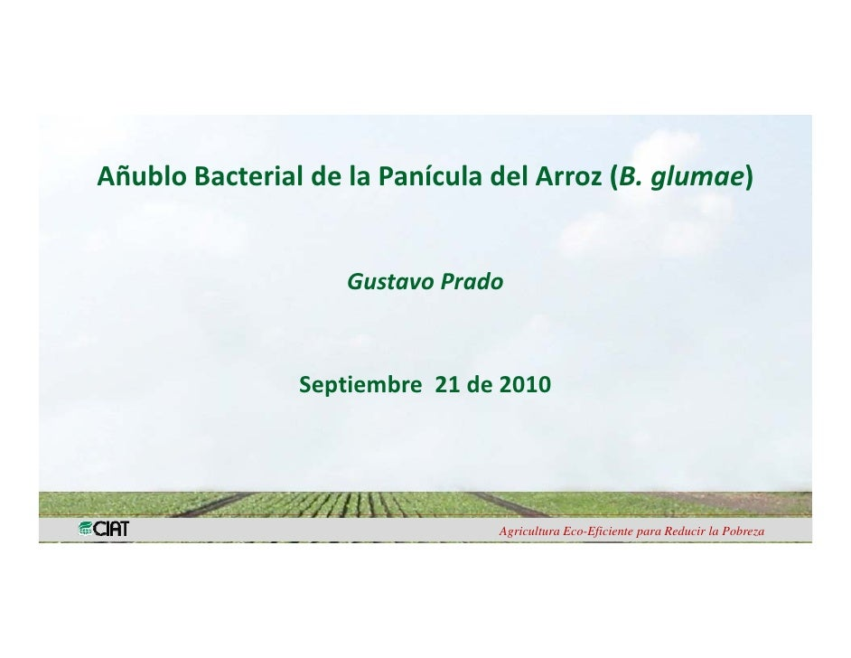 006   anublo bacterial de la panicula del arroz - gustavo prado