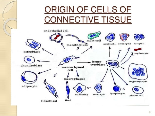 connective tissue diagram