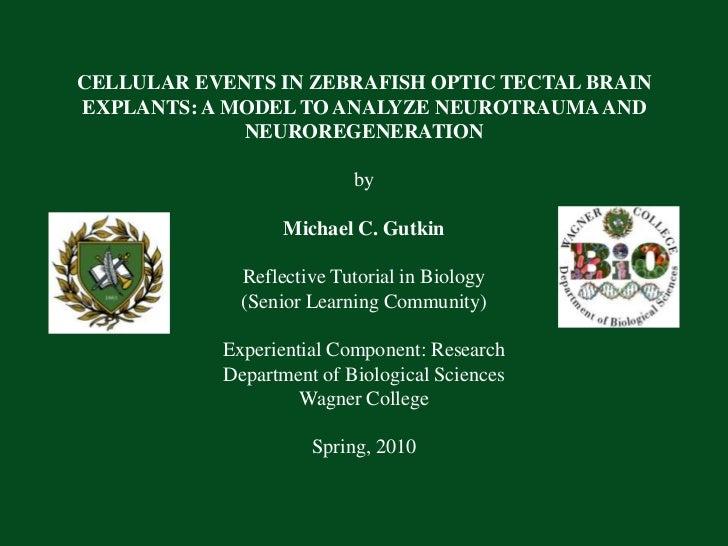 CELLULAR EVENTS IN ZEBRAFISH OPTIC TECTAL BRAIN EXPLANTS: A MODEL TO ANALYZE NEUROTRAUMA AND NEUROREGENERATIONbyMichael...