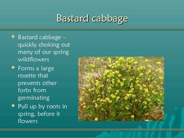 Invasive Plants... Glossy Privet Tree