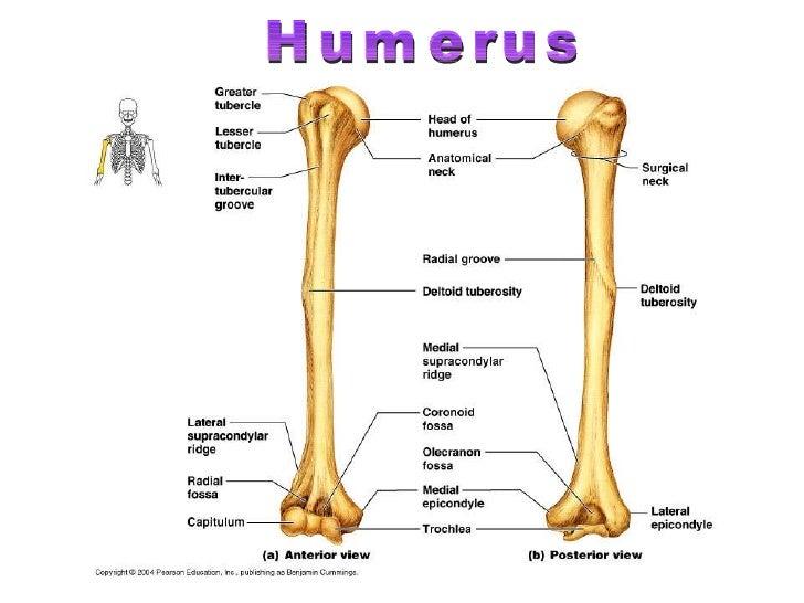 Humerus Bone Unlabeled