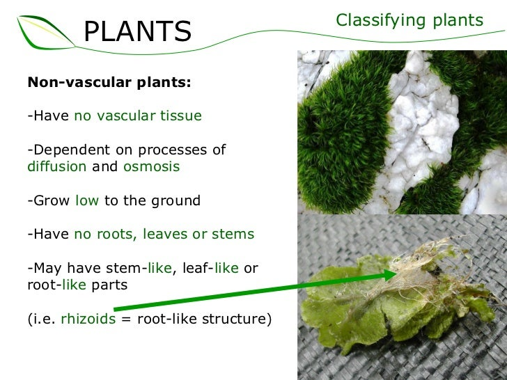 <ul><li>Non-vascular plants: </li></ul><ul><li>Have  no vascular tissue </li></ul><ul><li>Dependent on processes of  diffu...