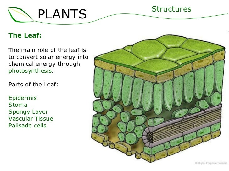 How is the structure of a leaf adapted for photosynthesis