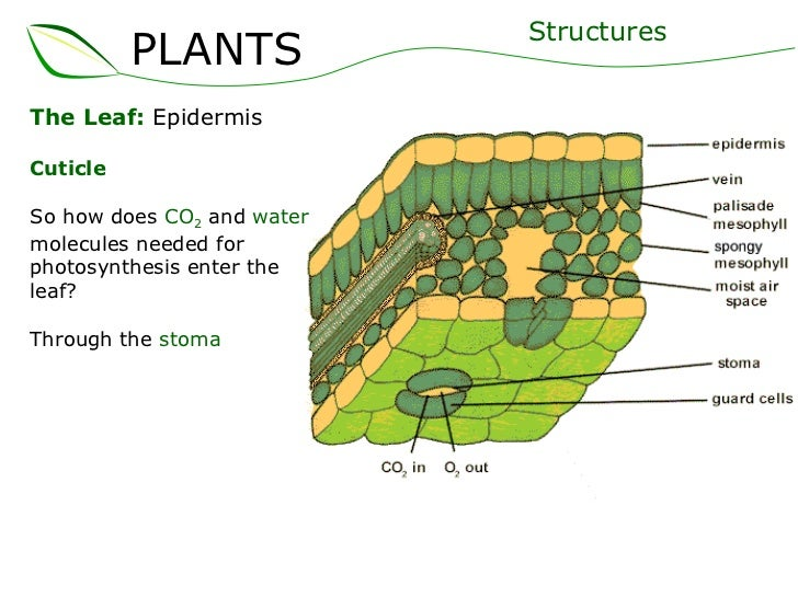 Plant Epidermis 01 plants part 2 (slideshare)