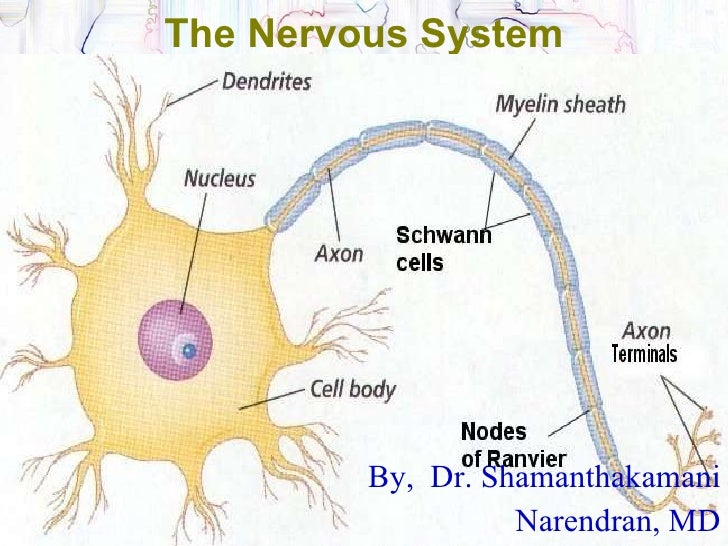 The Nervous System By,  Dr. Shamanthakamani Narendran, MD