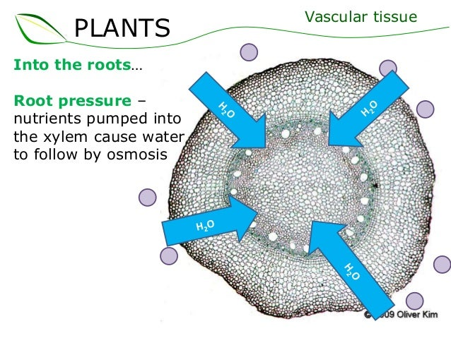 Osmosis in Plant Roots Plants Into The Roots