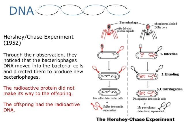 Hershey–Chase experiment - Wikiwand