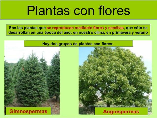 Plantas con flores Son las plantas que se reproducen mediante flores y semillas, que sólo se desarrollan en una época del ...