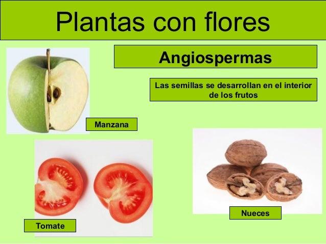 Plantas con flores Angiospermas Las semillas se desarrollan en el interior de los frutos  Manzana  Nueces Tomate