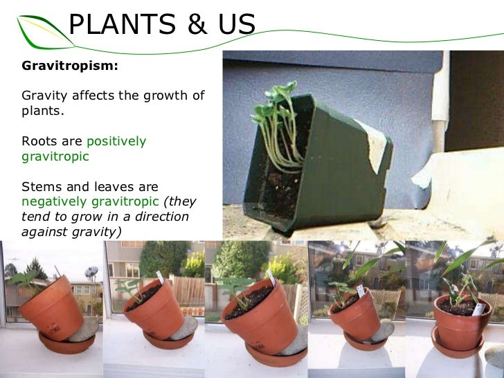 Which direction will the plant get more growth by the gravity?
