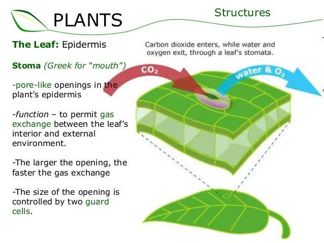 Plant stem epidermis - photo#18