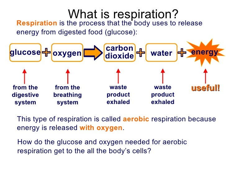 Respiration Process Y8 humans 02 respiration