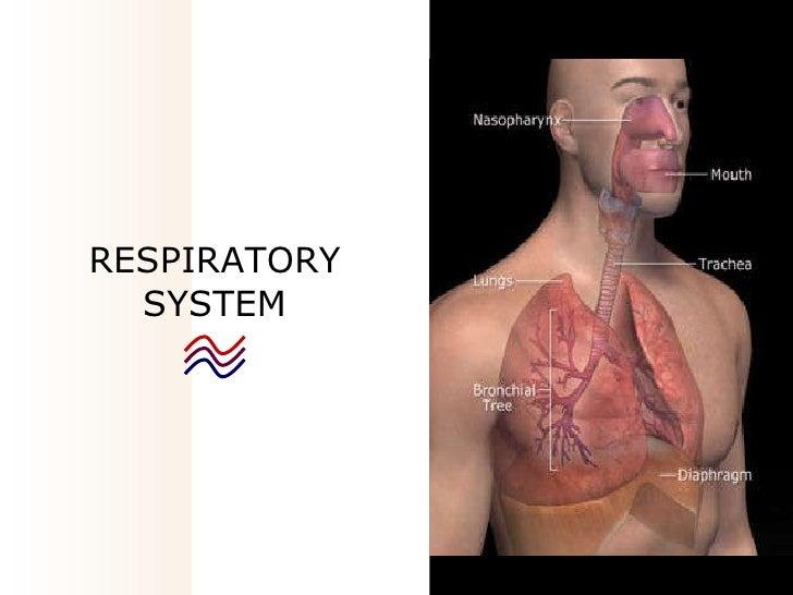 03   respiratory system2