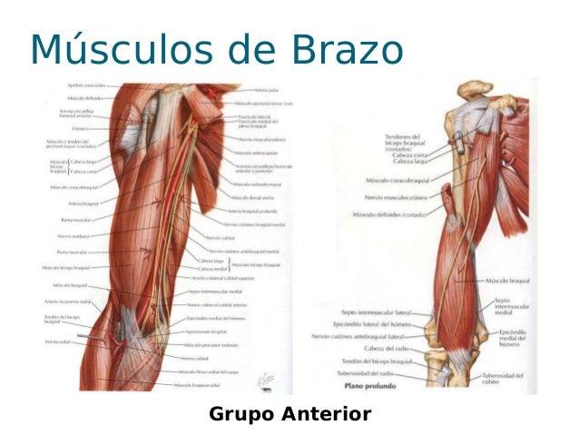 Los músculos desarrollados del antebrazo - MUSCULOS DEL ANTEBRAZO