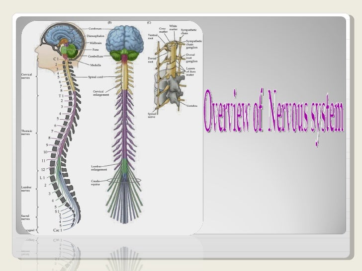 Over view of nervous system