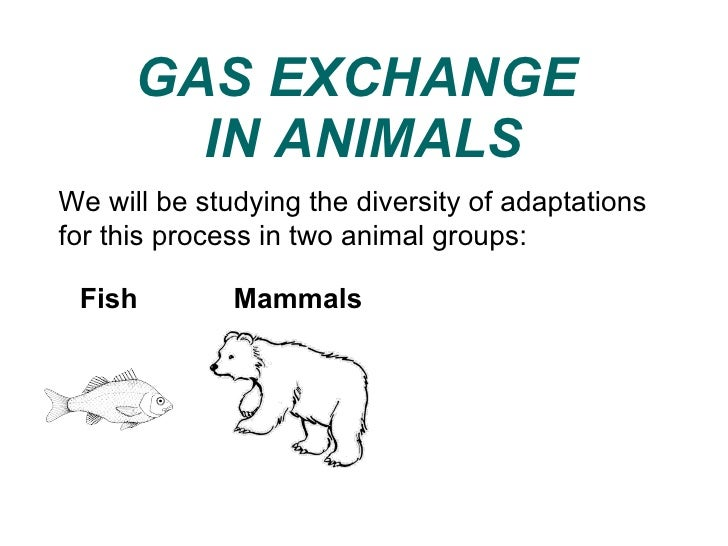 GAS EXCHANGE  IN ANIMALS We will be studying the diversity of adaptations for this process in two animal groups:  Mammals ...