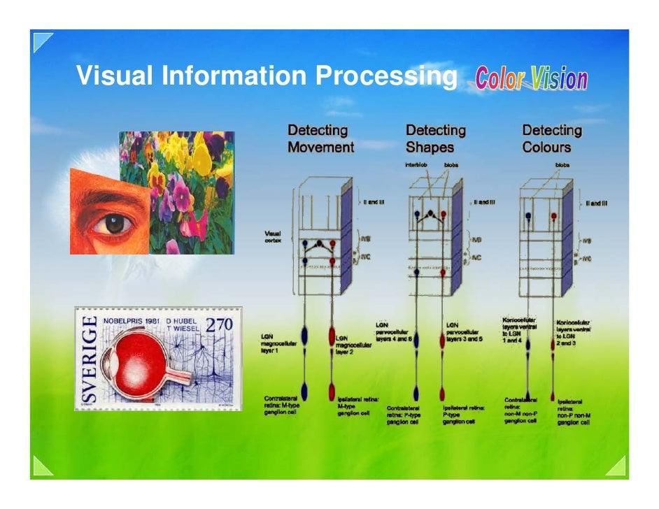 04c visual signal processing color vision