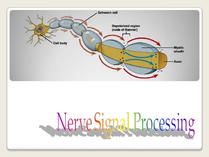 Nerve Signal Processing <br />