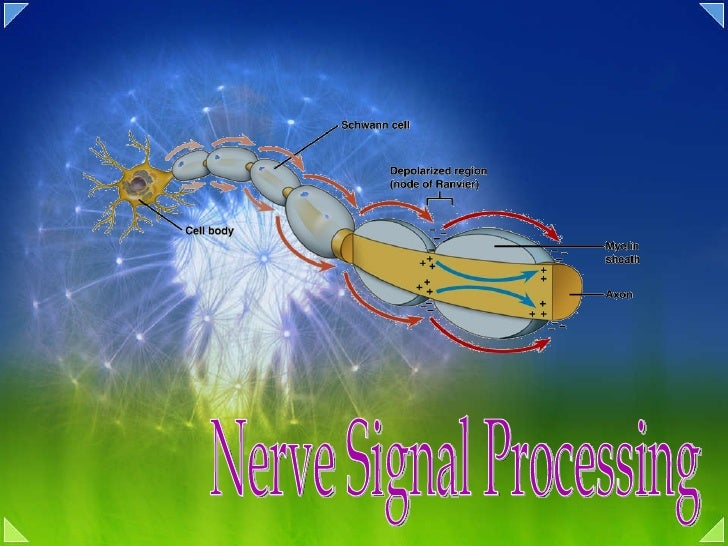 Nerve Signal Processing