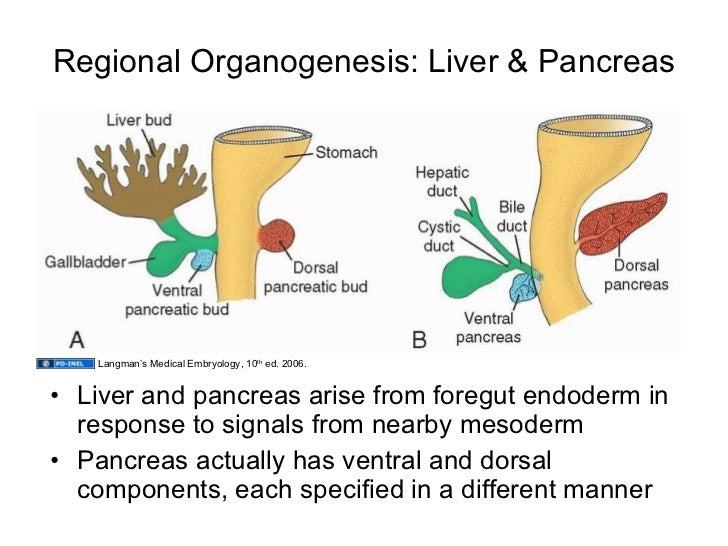 How Do The Liver And Pancreas Differ From Other Digestive Organs