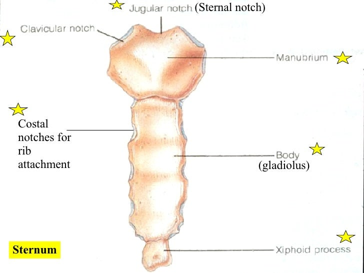 List of Synonyms and Antonyms of the Word: sternal notch