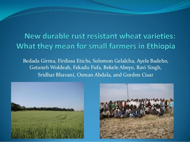New durable rust resistant wheat varieties: What they mean for small farmers in Ethiopia