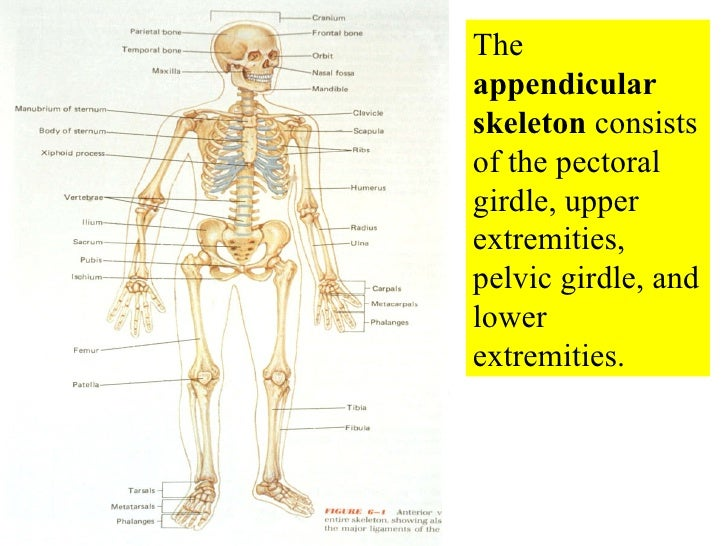 The  appendicular  skeleton  consists of the pectoral girdle, upper extremities, pelvic girdle, and lower extremities.