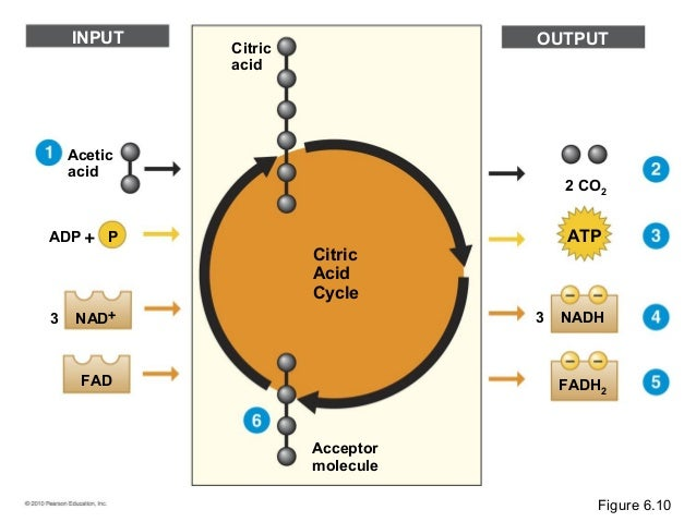 Citric Acid Cycle Net Input And Output Molecule Citric Acid Cycle