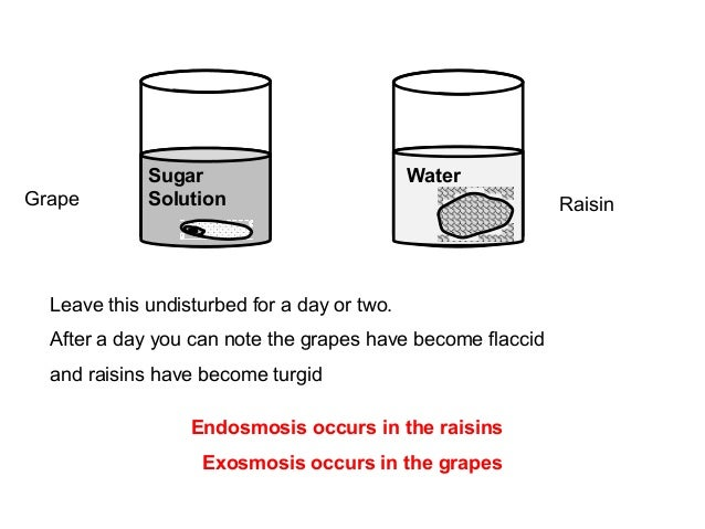 osmosis experiments on raisins Best answer: since osmosis is the diffusion of a solvent from a low solute concentration to a higher one so osmosis affect raisin in different ways.