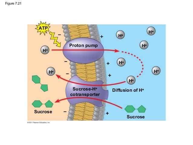 membrane structure and function biology essay Chapter 5 - membrane structure and function the plasma membrane fluid mosaic model, semi-permeable (selectively permeable), double layer of phospholipids with.