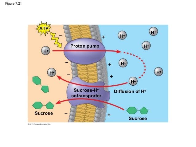 Proton Pump Structure h − h Proton Pump h