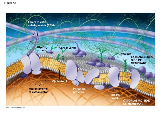 07 Membrane Structure And Function