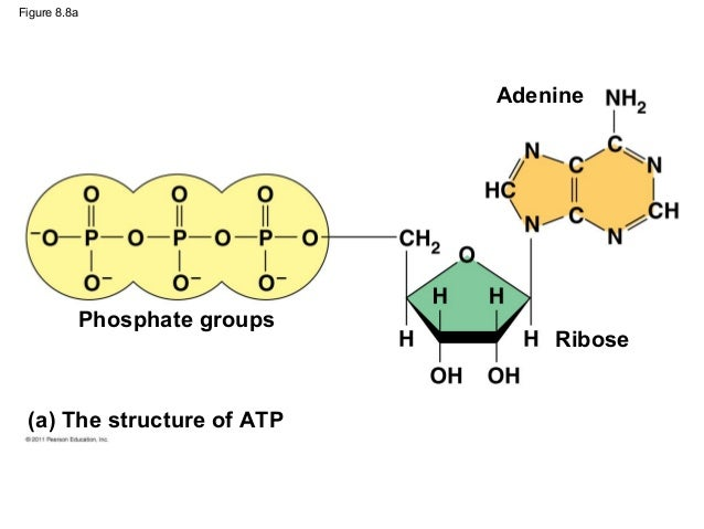 enzymology catalytic mechanism carbohydrate metabolism adenosine Susana aguilera enzymology and catalytic mechanism hereditary fructose intolerance enzyme catalyst enzymes are catalyst that speed up or slow down reactions.