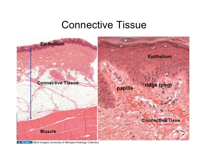 histology muscle and connective tissue 2018-7-1 slidebox this website contains more than 250 virtual microscope slides for learning histology cells and tissues histology is organized into four basic types of tissue: (1) epithelium, (2) connective tissue (includes cartilage, bone and blood), (3) muscle, and (4) nervous tissue.