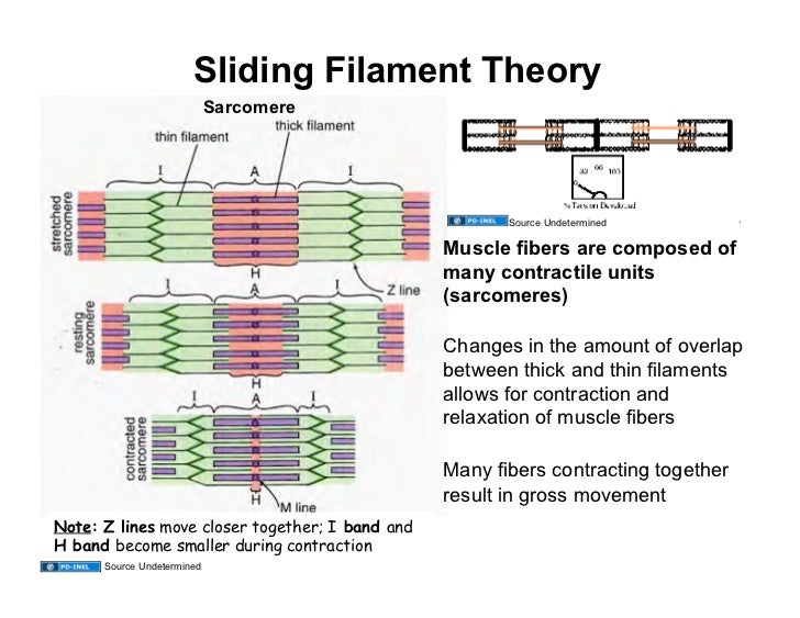 Sarcomere Contraction And Relaxation Contraction And Relaxation