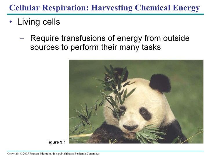 Cellular Respiration: Harvesting Chemical Energy <ul><li>Living cells </li></ul><ul><ul><li>Require transfusions of energy...