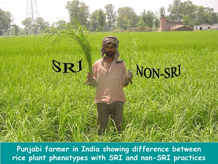 Agriculture Rice Planting Rice Plant Phenotypes With