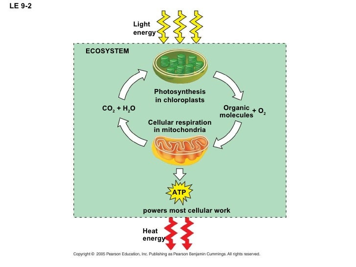 how energy is transferred from sunlight to atp from atp to sugars and from sugars to your cells Unlocking the energy in foods explore  (atp) adp + p + energy → atp  this energy transfer pathway, which occurs within all body cells, is called aerobic .