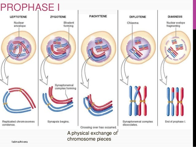 Stages Of Metaphase 1 Cell cycle