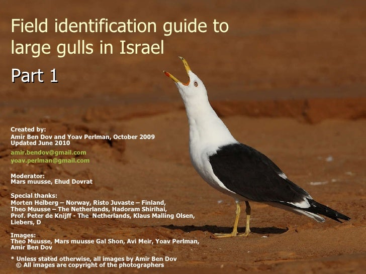 Field identification guide to large gulls in Israel Created by:  Amir Ben Dov and Yoav Perlman, October 2009 Updated June ...