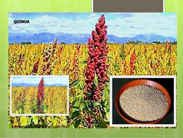 ADEX - convencion granos andinos 2012: investigacion genetica