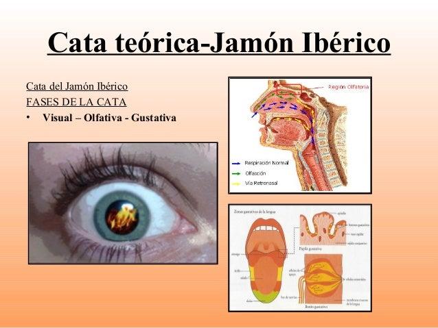 Cata teórica-Jamón Ibérico Cata del Jamón Ibérico FASES DE LA CATA • Visual – Olfativa - Gustativa