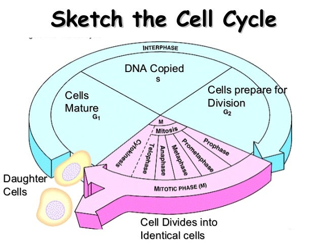 observing the different stages of mitosis biology essay The different phases of mitosis because the chromosomes are large and and  very  observe the condensing chromosomes (dark regions) in the cell on the  left.