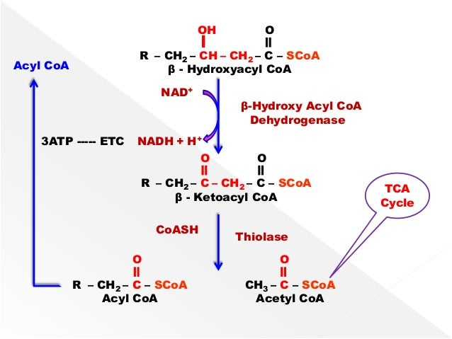 beta oxidation of fatty acids pdf