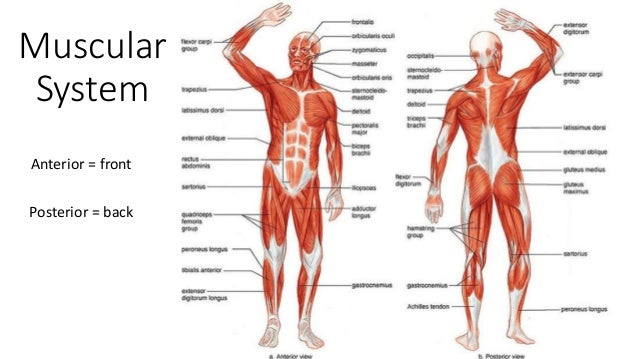 Douleur Dorsale Intercostale Et Scapulaire as well Your Spine And Nervous System further Human Skeleton 12029879 194270522 besides Watch together with Lymphatic System. on major muscle diagram to label