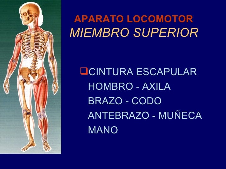 APARATO LOCOMOTOR MIEMBRO SUPERIOR <ul><li>CINTURA ESCAPULAR </li></ul><ul><li>HOMBRO - AXILA </li></ul><ul><li>BRAZO - CO...