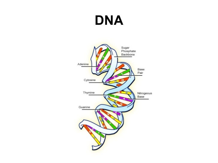 Dna Structure Related Keywords & Suggestions - Dna Structure Long Tail ...