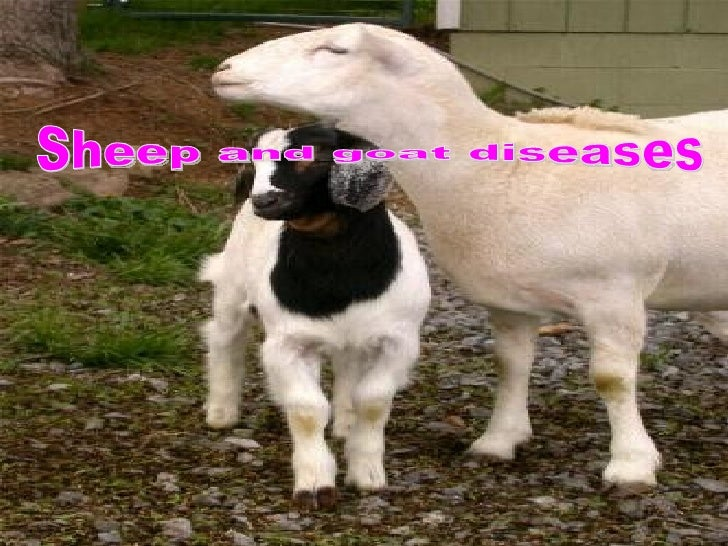.Sheep and goat pox -1Goat plague -2Rift valley fever -3.Blue tongue -4.Orf -5.Scrapie -6.Foot and mouth disease -7.Akaban...
