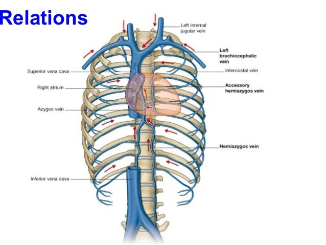 The azygos vein pathway an overview from anatomical
